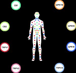 human-cannabinoid-receptors